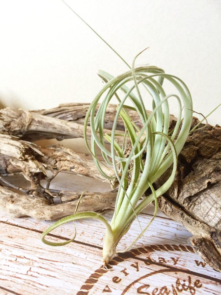 チランジア・ロレンジアナ Tillandsia lorentziana