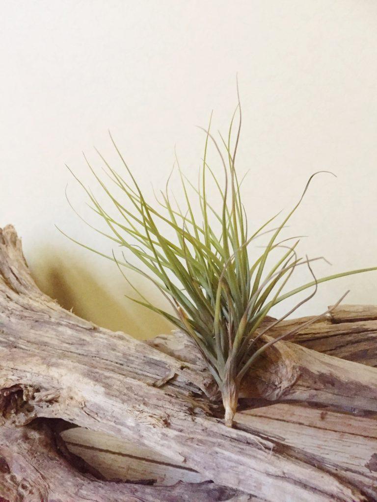 チランジア・テヌイフォリア・アルビノ Tillandsia tenuifolia 'Albino'