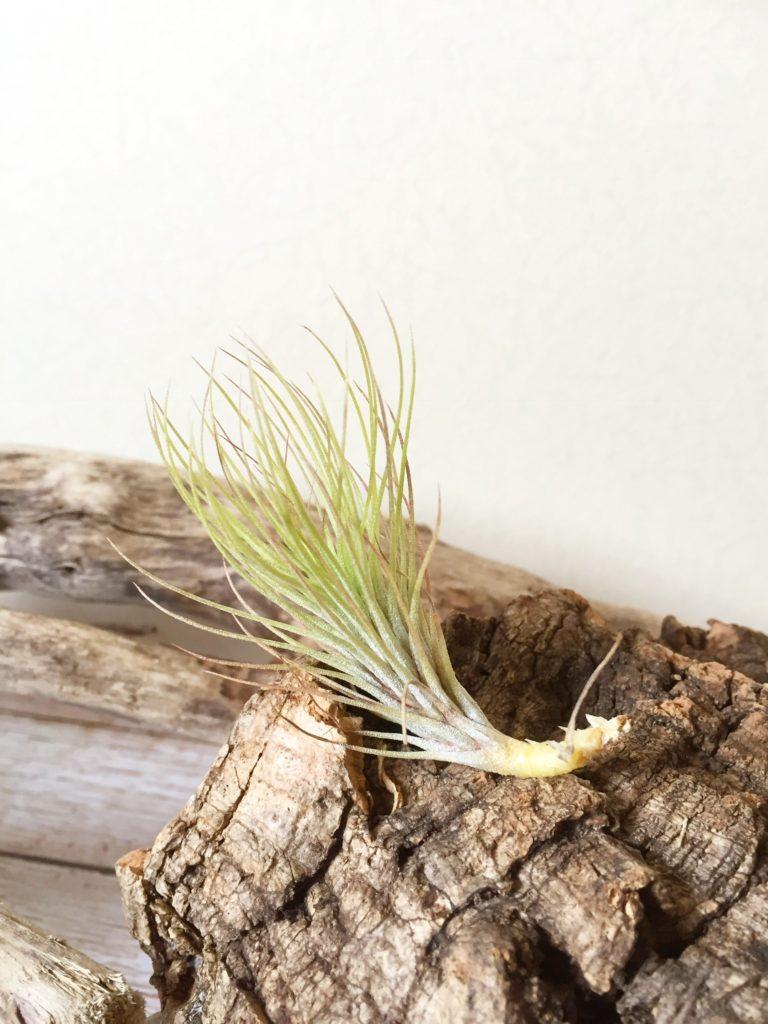 チランジア・フンキアナ・ハーブヒル Tillandsia funckiana 'Herb Hill'