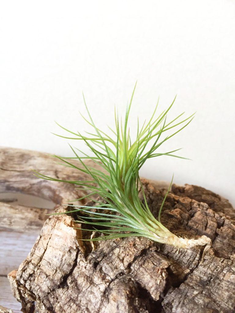チランジア・フンキアナ・スプリンググリーン Tillandsia funckiana 'Spring Green'