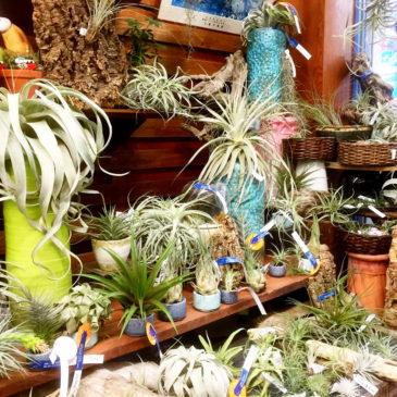 【Frontier Plants】基本的なチランジア(エアープランツ)の育て方【フロンティアプランツ】
