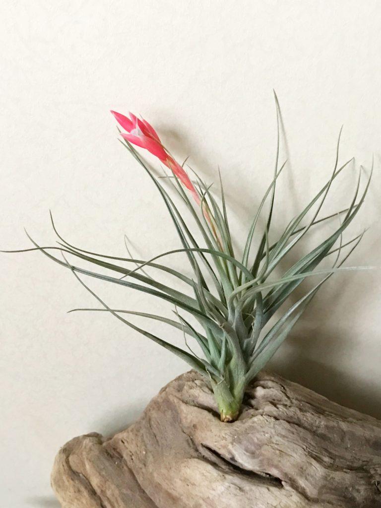 チランジア・アエラントス・アルボフローラ Tillandsia aeranthos 'Albo-Flora'