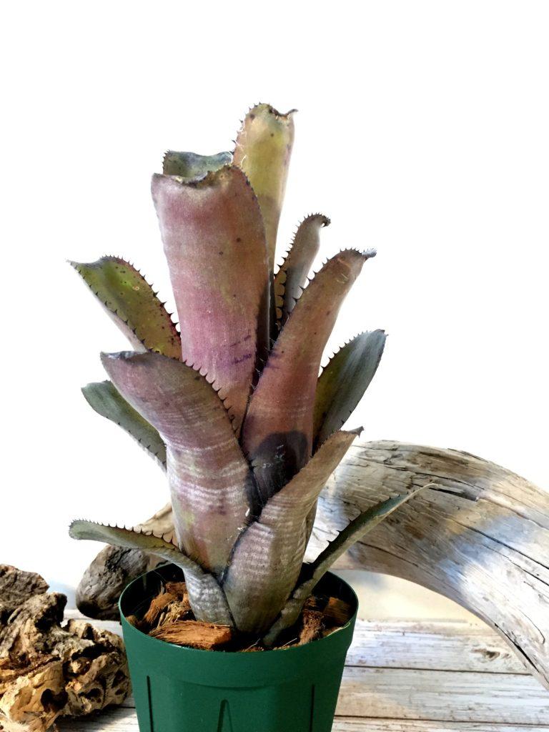 ビルベルギア・ゲルダ Billbergia 'Gerda'(horrida v. tigrina×amoena v .viridis)