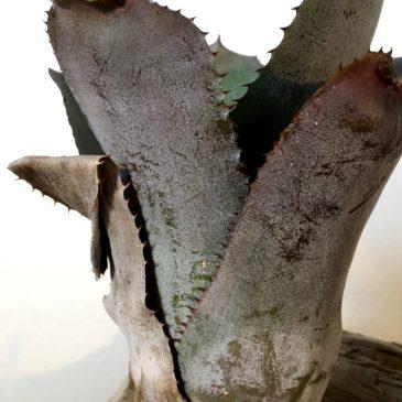 ホヘンメア・ベッツィーマクロリー Hohenmea 'Betsy Mccrory'(Hohenbergia correia-araujoi X Aechmea chantinii)育て方 図鑑 【Frontier Plants】