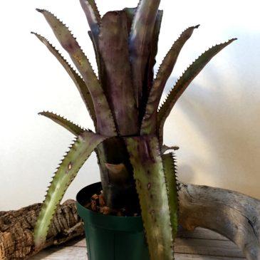 エクメア・ヌディカウリス×トリアングラリス Aechmea nudicaulis × trianguralis 育て方 図鑑 【Frontier Plants】