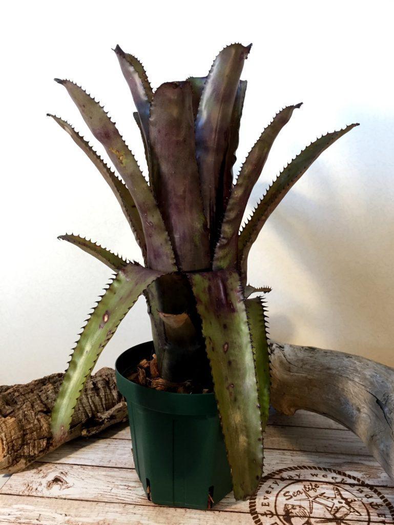 エクメア・ヌディカウリス×トリアングラリス Aechmea nudicaulis × trianguralis