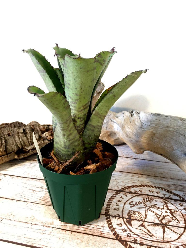 ネオレゲリア・リリプティアナ・ジャイアント Neoregelia lilliputiana'Giant'