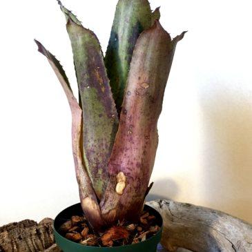 ホヘンベルギア・パープルマジェスティー Hohenbergia 'Purple Majesty'(H.leopoldo-horstii×H.catingae var. elongata)育て方 図鑑 【Frontier Plants】