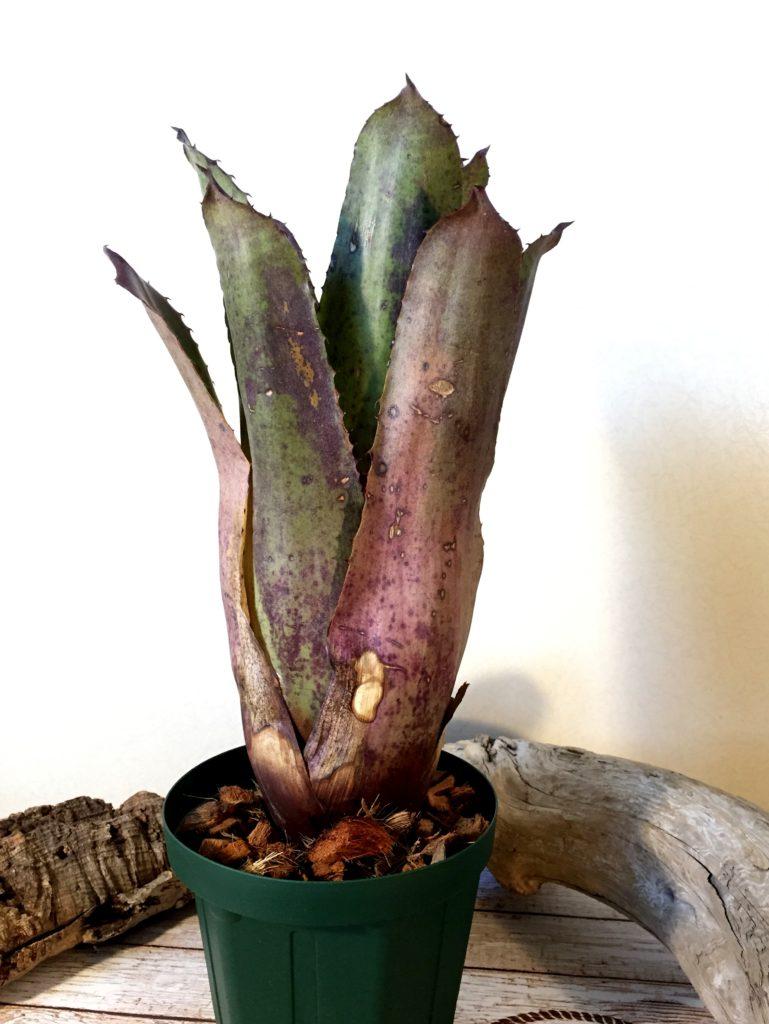 ホヘンベルギア・パープルマジェスティー Hohenbergia 'Purple Majesty'(H.leopoldo-horstii×H.catingae var. elongata)