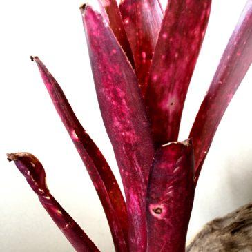 ビルベルギア・テンエー Billbergia 'Teng EE'( 'Afterglow' x 'Hallelujah')育て方 図鑑【Frontier Plants】
