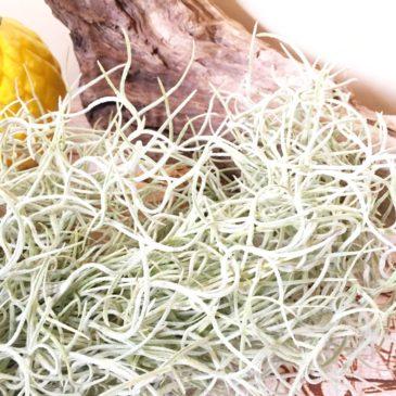 チランジア・ウスネオイデス・チックフォーム Tillandsia usneoides 'Thick Form' 育て方 図鑑