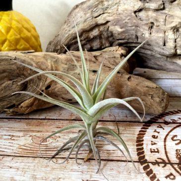 チランジア・プルプレア・ジャイアント Tillandsia purpurea 'Giant' 育て方 図鑑