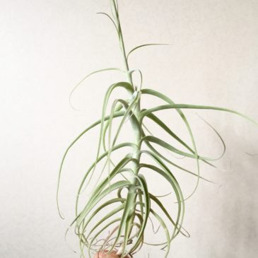 チランジア・パレアセア・ハイブリッド Tillandsia paleacea Hybrid 育て方 図鑑