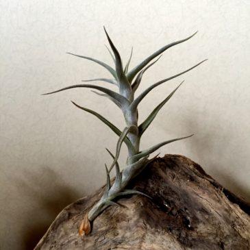 チランジア・ディアグイテンシス・ラージフォーム Tillandsia diaguitensis ' Large Form' 育て方 図鑑