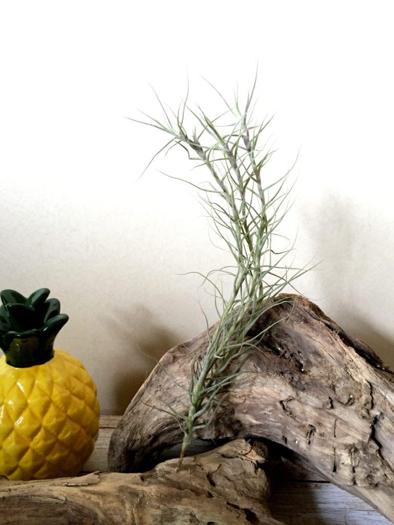 チランジア・カエルレア(セルーレア)Tillandsia caerulea