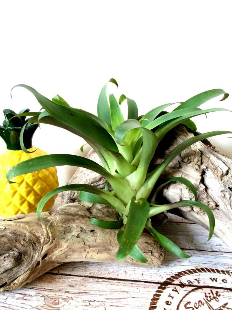 チランジア・レイボルディアナ・モラ Tillandsia leiboldiana 'Mora'