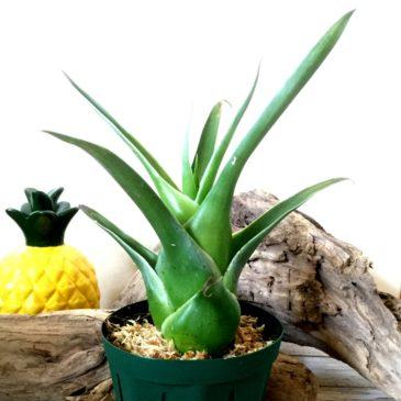 カトプシス・スブラータ Catopsis subulata 育て方 図鑑 【Frontier Plants】