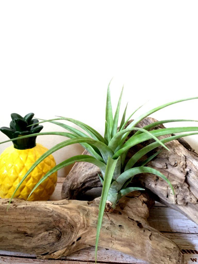 チランジア・フレクスオーサ・ヴィヴィパラフォーム Tillandsia flexuosa 'Vivapara Form'