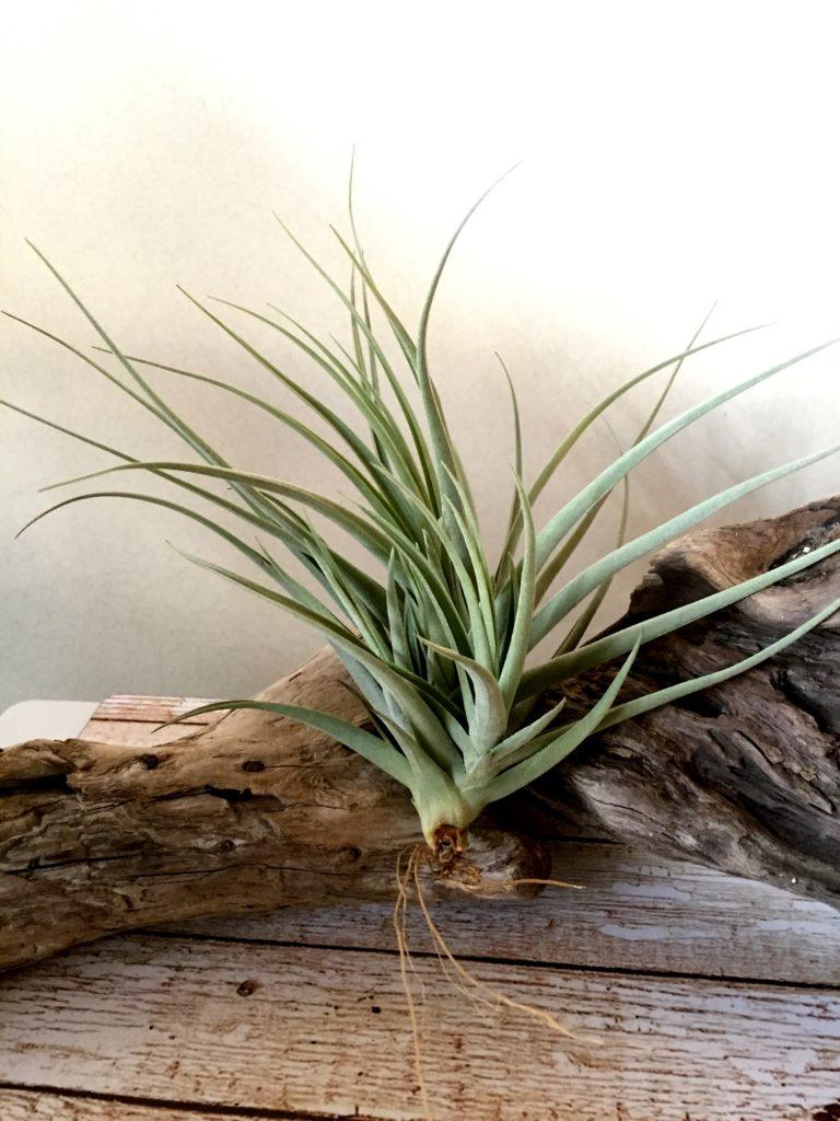 チランジア・イキシオイデス×ライヘンバッキー Tillandsia ixioides × reichenbachii