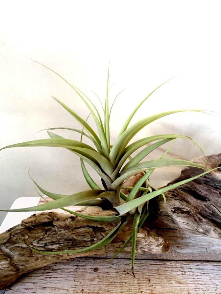 チランジア・チャルタセア(チャータセア) Tillandsia chartacea