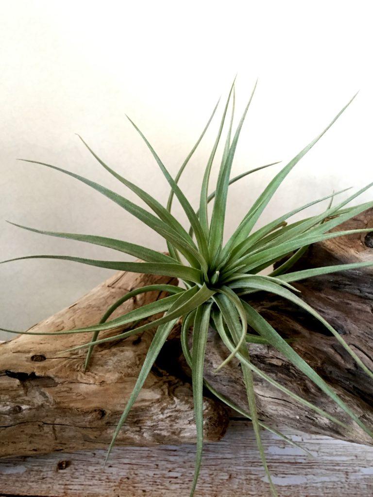 チランジア・ストリクタ・パープルスパイラル Tillandsia stricta 'Purple Spiral'