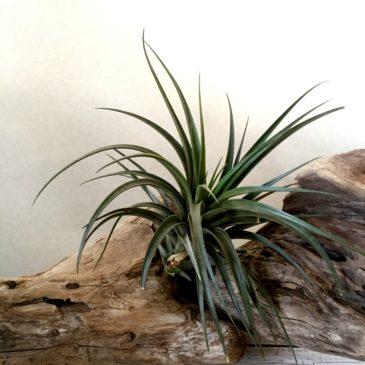 チランジア・ヴェルニコーサ・ジャイアントフォーム(ベルニコーサ) Tillandsia vernicosa 'Giant Form' 育て方 図鑑