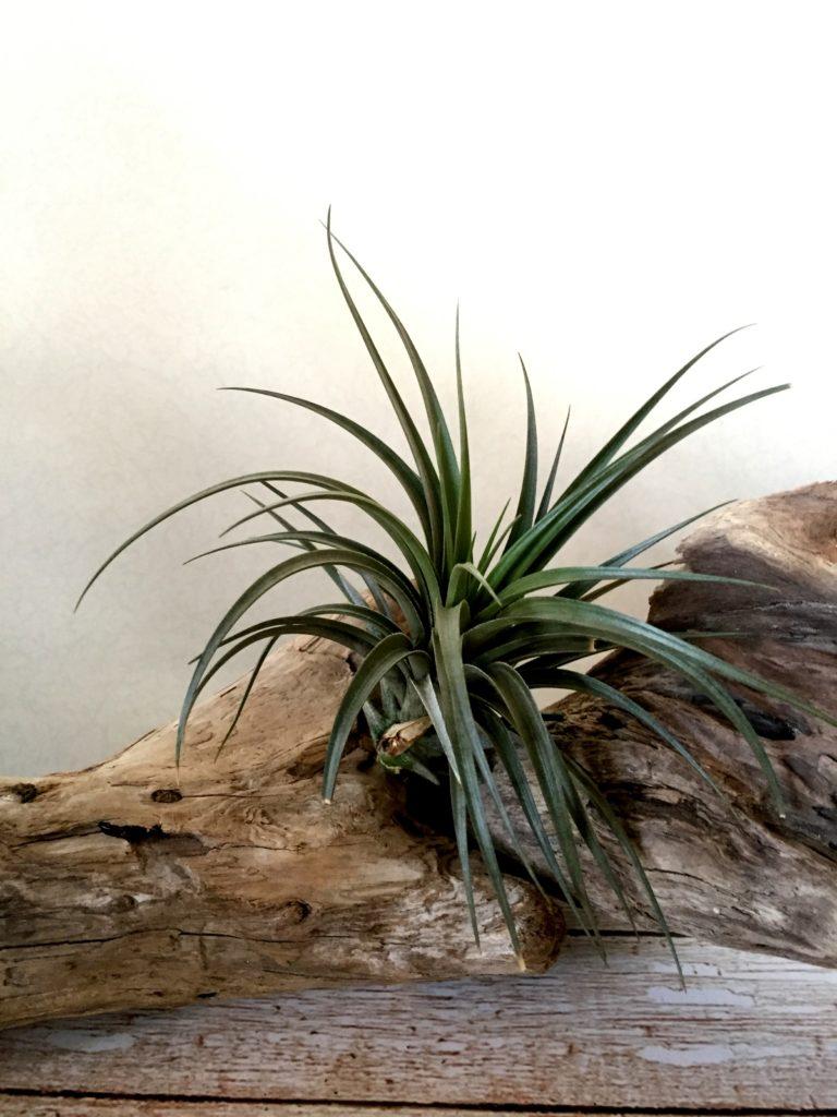 チランジア・ベルニコーサ・ジャイアントフォーム Tillandsia vernicosa 'Giant Form'