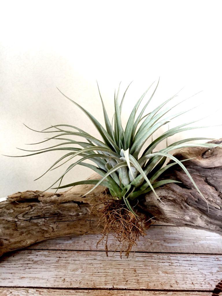 チランジア・コレアレイ Tillandsia × correalei 育て方 図鑑