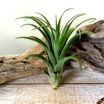 チランジア・ハリシー × アキロスタキス Tillandsia harrisii × achyrostachys 育て方 図鑑