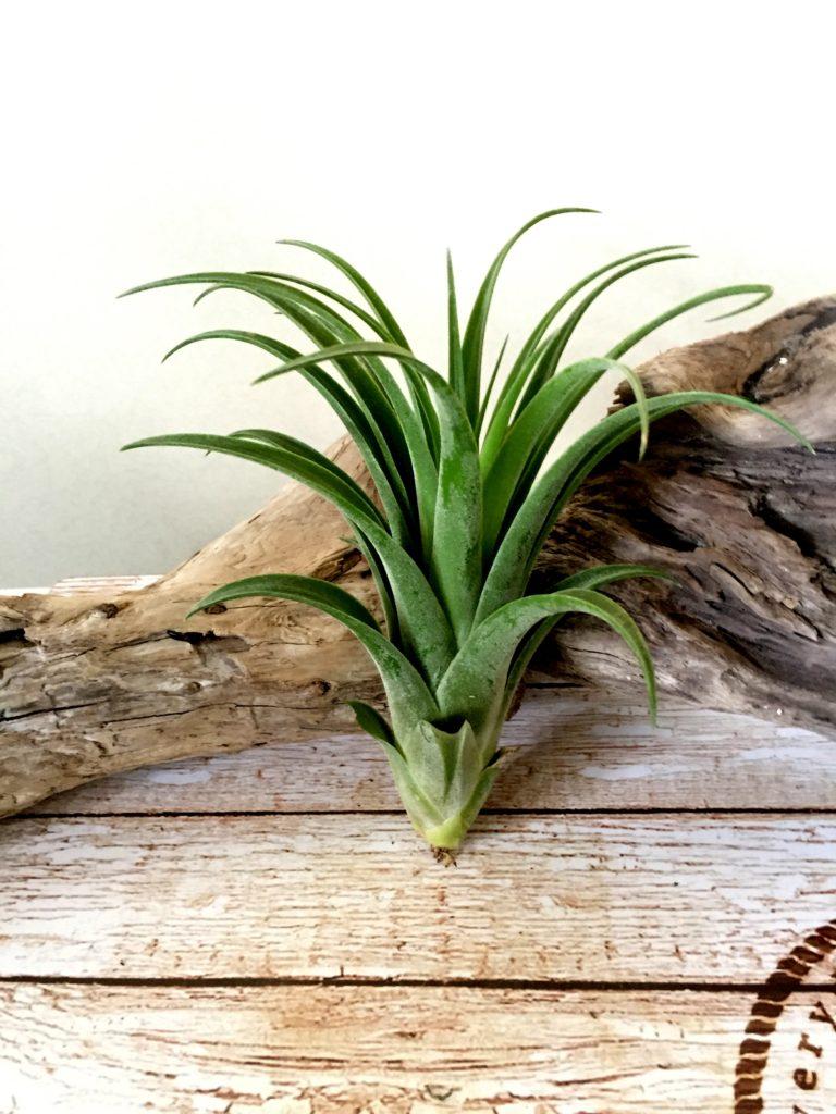 チランジア・ハリシー × アキロスタキス Tillandsia harrisii × achyrostachys
