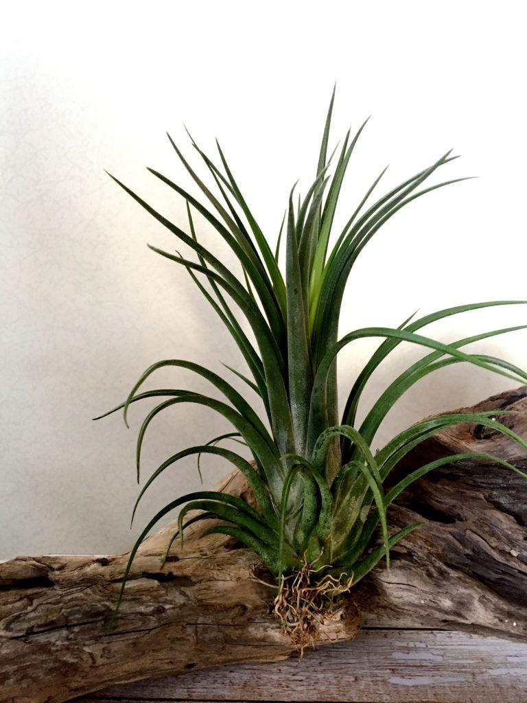 チランジア・イオナンタ×ブラキカウロス Tillandsia ionantha × brachycaulos