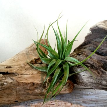 チランジア・ゲミニフローラ Tillandsia geminiflora 育て方 図鑑