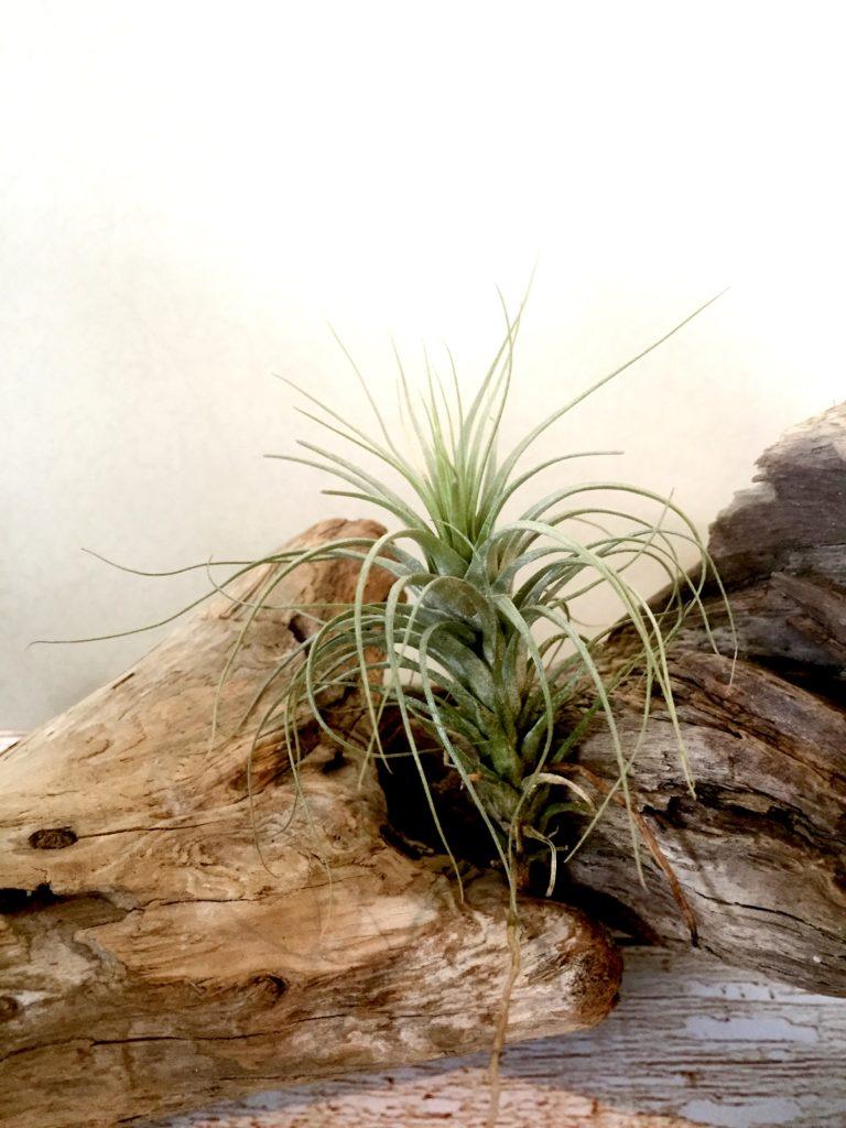 チランジア・ヘテロモルファ Tillandsia heteromorpha