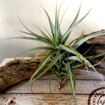 チランジア・ラティフォリア Tillandsia latifolia 育て方 図鑑