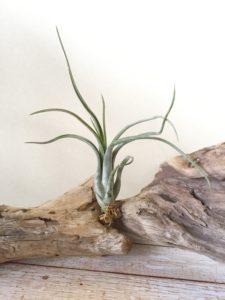 チランジア・パウシフォリア・メキシコ Tillandsia paucifolia `Mexico'