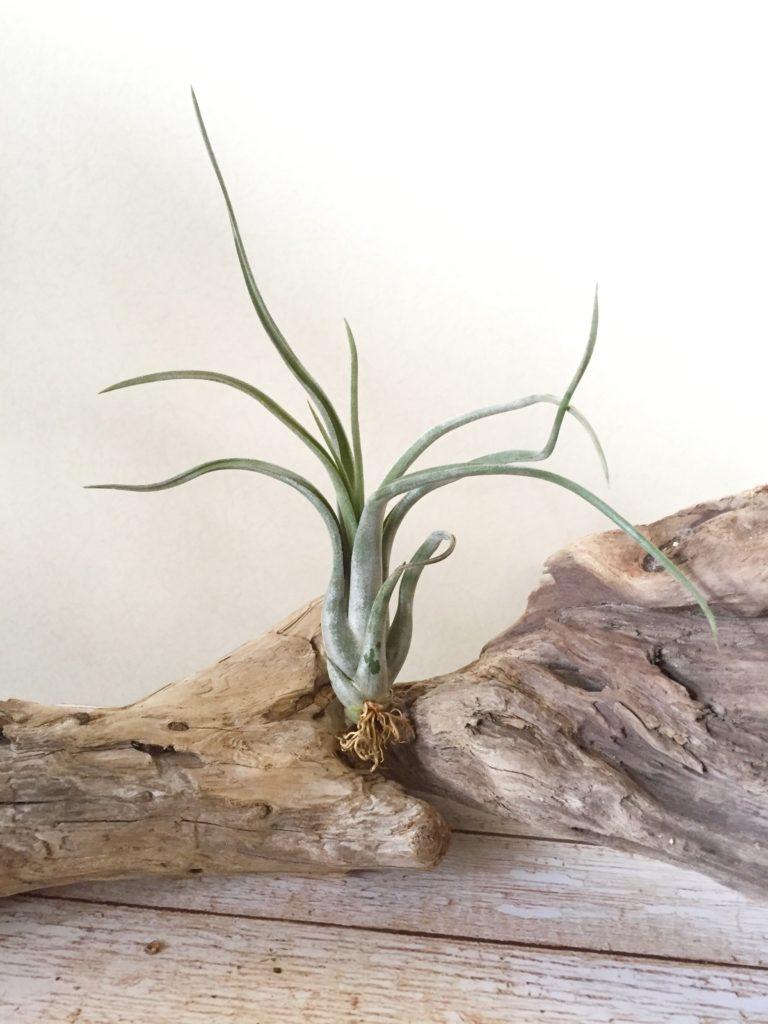 チランジア・パウシフォリア・メキシコ Tillandsia paucifolia 'Mexico Form'