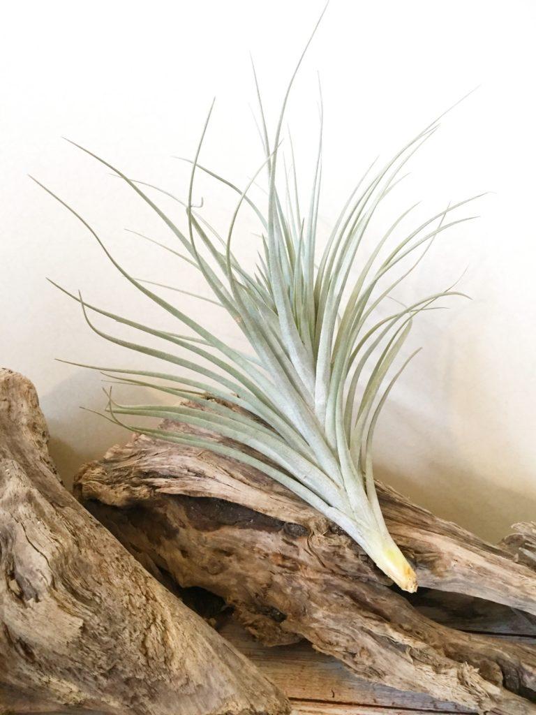 チランジア・ミラグレンシス Tillandsia milagrensis