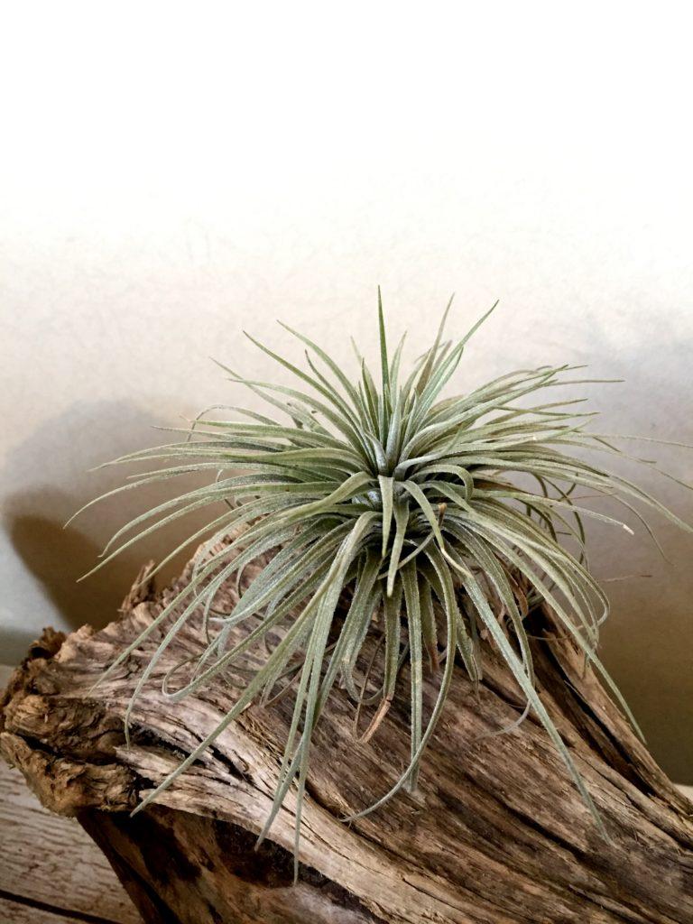 チランジア・アトロビリディペタラ・グランディスピカ Tillandsia atroviridipetala var. grandispica