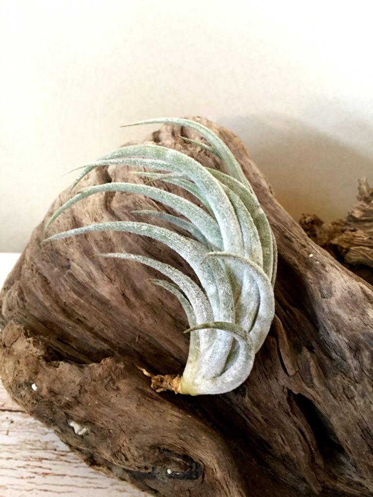 チランジア・ミトラエンシス Tillandsia mitlaensis