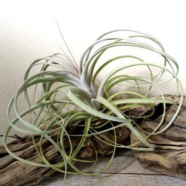 チランジア・クラウニンググローリー T. Crowning Glory (T.xerographica X T.exserta) ティランジア育て方 図鑑