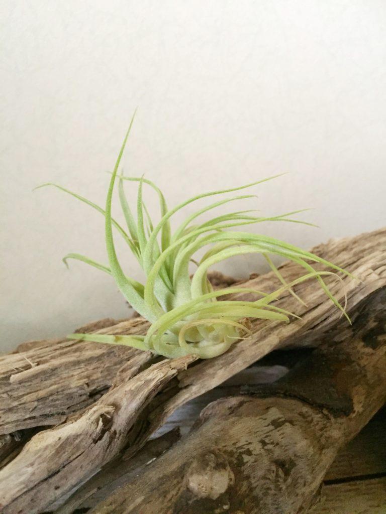 チランジア・ブラッシングビューティー T. Blushing Beauty (T. ionantha Huamelula X T. capitata Roja)
