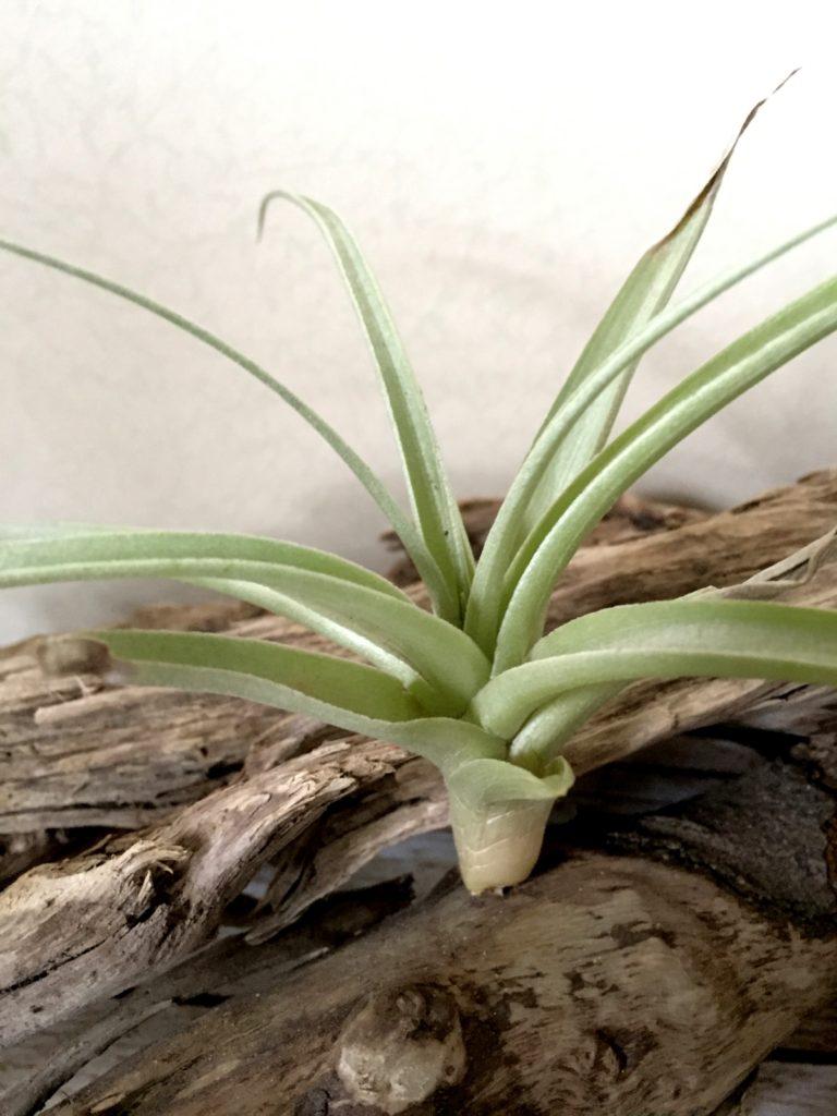 チランジア・ガイタイム Tillandsia A Gay Time (T. recurvifolia X T. xiphioides)