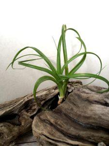 チランジア・ポリスタキア Tillandsia polystachia