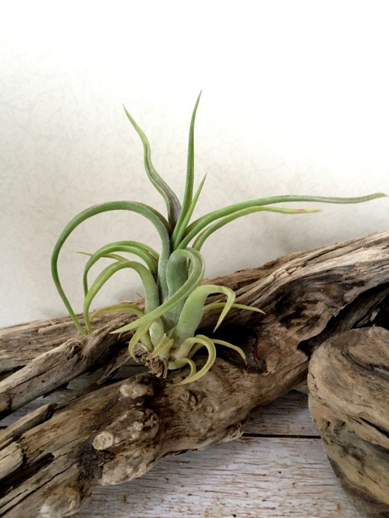 チランジア・センチネル Tillandsia The Sentinel (T. paucifolia X T. caput-medusae)