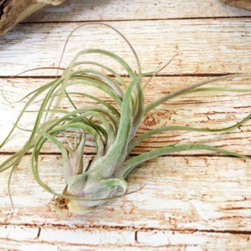 チランジア・シュリンプカクテル Tillandsia Shrimp Cocktail (T. pruinosa X T. ionantha) 育て方 図鑑