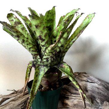 エクメア・オーランディアナ・ゴールドトーン Aechmea orlandiana 'Gold Tone' 育て方 図鑑 【Frontier Plants】