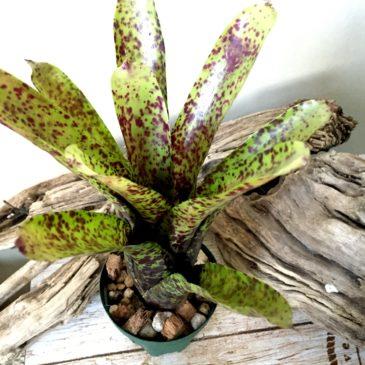 ネオレゲリア・ラ ブレア Neoregelia 'La Brea' ((Neo. olens 'Hybrid' x Neo. concentrica 'DeLeon's Best' )× Neo. 'Cheers') 育て方 図鑑 【Frontier Plants】