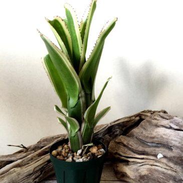 エクメア・ヌディカウリス・オーレオロゼア・アルボマルギナータ Aechmea nudicaulis var. aureorosea 'Albo-marginata' 育て方 図鑑 【Frontier Plants】