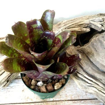 ネオレゲリア・ロイヤルバーガンディー × ファイヤーボール Neoregelia 'Royal Burgundy' × Neo. 'Fireball' 育て方 図鑑 【Frontier Plants】