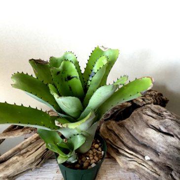 ビルベルギア・サンデリアナ sp. Billbergia sanderiana sp. 育て方 図鑑 【Frontier Plants】